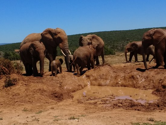 Colchester, Sudafrica: Elephant families in Addo Park