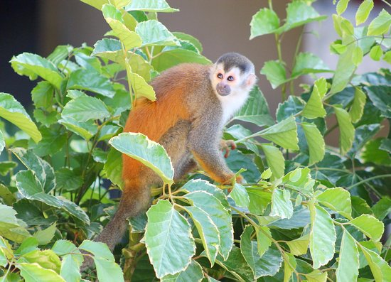 سي كومو مو ريزورت سبا آند وايلدلايف: Squirrel Monkey Below our Balcony