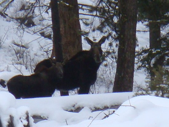 Sula, MT: Moose Mom and Baby