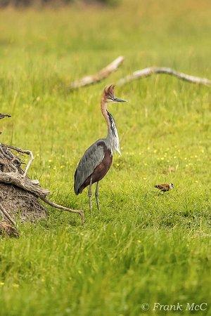 Shakawe, Botswana: Goliath Heron