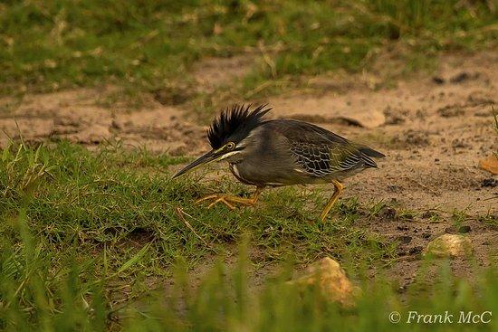 Shakawe, Botswana: Striated Heron