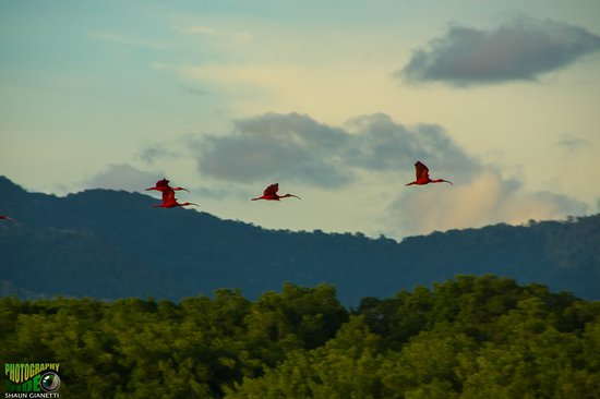 St. Ann's, Trinidad: Scarlet Ibis coming in to roost