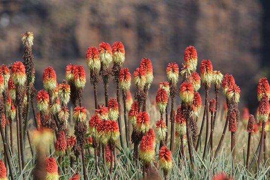 Sani Pass, Lesotho: Red Hot pokers