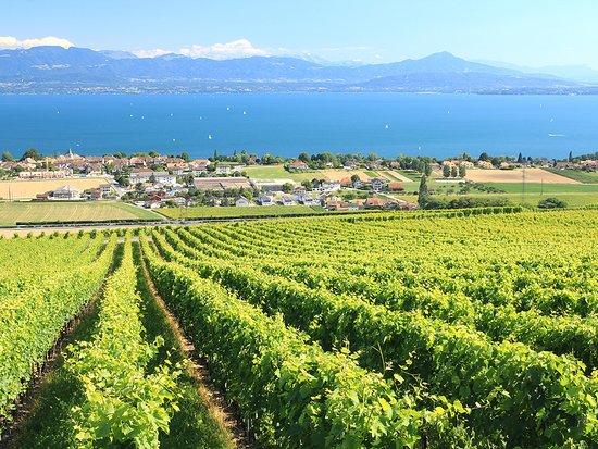 Vaud, Suisse : Les vignobles de la Côte. photo: Peter Colberg