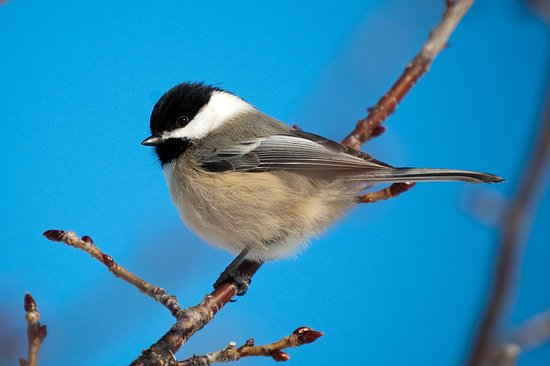 Richmond Hill, Kanada: Chickadee near feeders at Phyllis Rawlinson Park