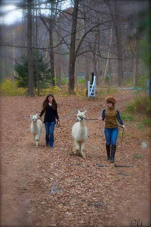 Pleasant Valley, NY: You can learn to walk an alpaca.