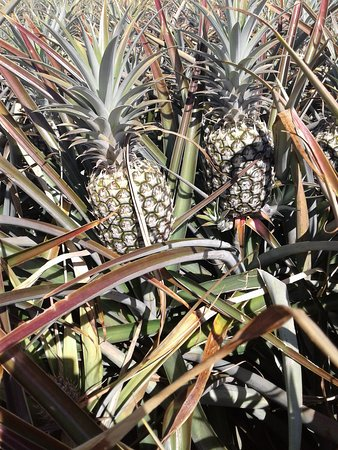Maui Pineapple Tours Makawao Hi