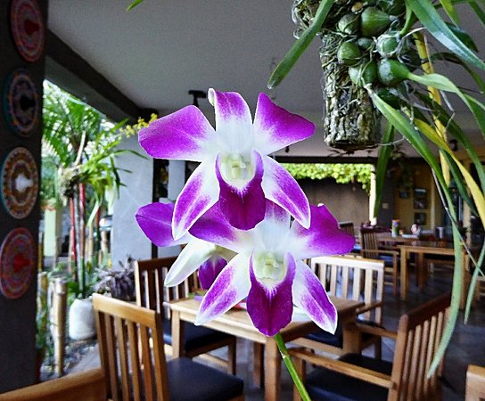 Pura Vida Hotel: One of many orchids in the restaurant this time of year