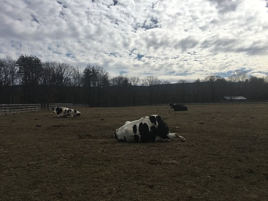 High Falls, Nova York: Cows resting