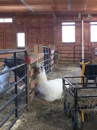High Falls, Nova York: Llama in the goat and sheep barn