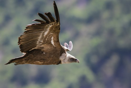 Kanton Genf, Schweiz: Picture of a griffon vulture flying that I shot during a weekend with Salva Fauna