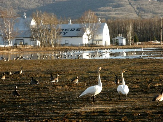 Fairbanks, AK: Spring Migration at Creamer's Field Migratory Waterfowl Refuge