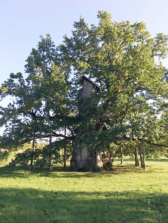 Tukums, Latvia: almost whole tree in one picture!