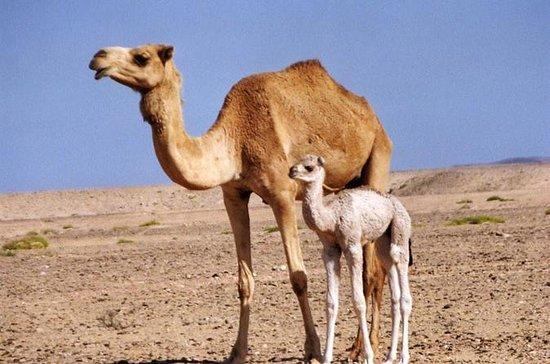Safari en el desierto de Wahiba Sands...
