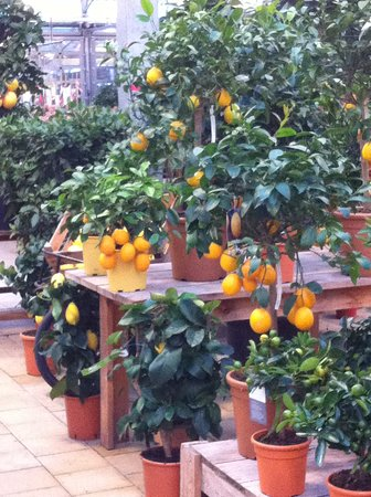 Duernten, Suíça: did you know citrus fruits need cold temperatures to change from the green color