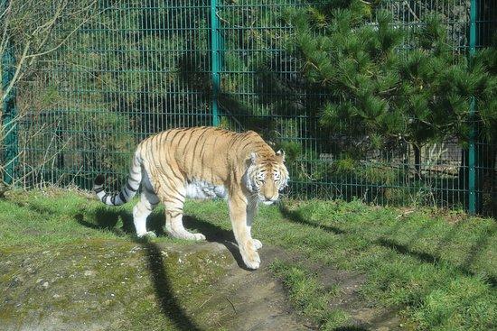 Isle of Wight Zoo: Tiger