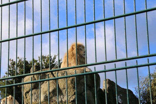 Isle of Wight Zoo: Lion