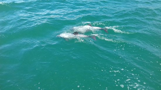 Akaroa Guided Kayak Safari: The small and endangered Hector's Dolphin. What a privilege to see them!
