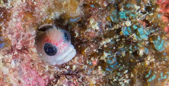 Drake Bay, Costa Rica: Hairy Blenny