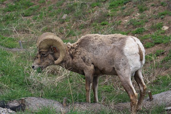 Almont, CO: Big Horn Sheep on property