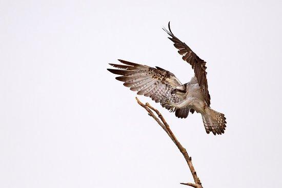 Santa Luce, Italy: falco pescatore andreadainapalermo
