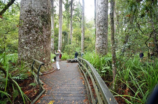 Kerikeri, Νέα Ζηλανδία: True forest giants are the kauri
