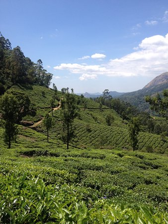 Munnar Trekking Adventure: Tea plantations