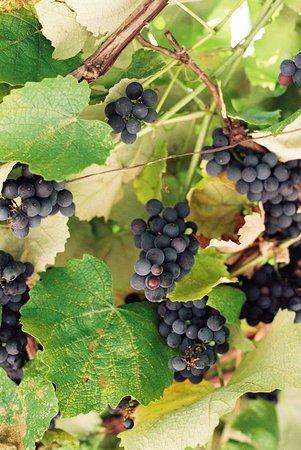 Cinigiano, Italia: Castello di Vicarello Grape Harvest