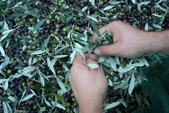 Cinigiano, Italy: Olive Harvest Experience