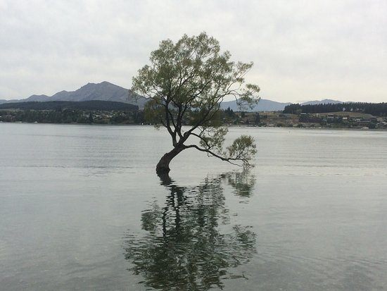 Wanaka Homestead Lodge and Cottages: Wanaka Tree - Just a short walk from lodge on shore