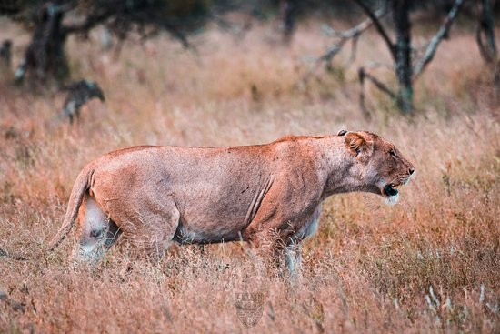 One of the many lions we encountered with Chasin'Africa.