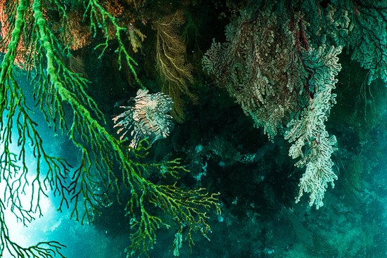 Beqa Island, Fiji: Lionfish in Gorgonians archway