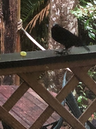 Crater Lakes Rainforest Cottages: rifle bird looking for food