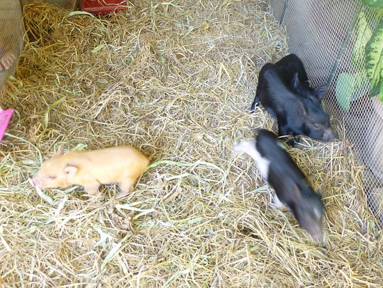 Zoobic Safari: piglets for sale