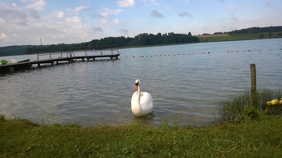 Stare Jablonki, Polandia: Lake Shore and swan