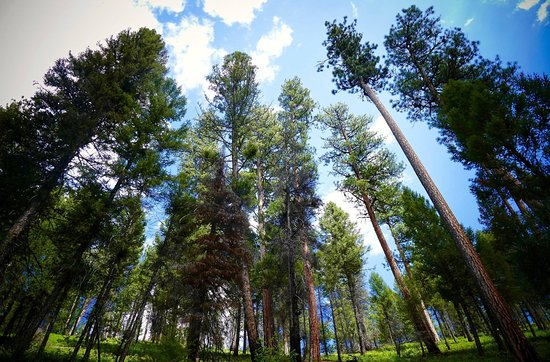 Darby, MT: The view of giant trees from our hike up the mountain on Triple Creek Ranch property.