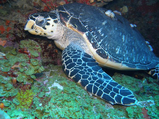 Windwardside, Saba: turtle