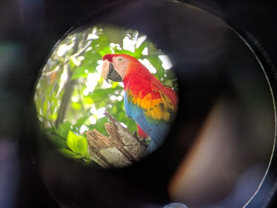 Habitats Peru Travel: A macaw at Villa Carmen biological station