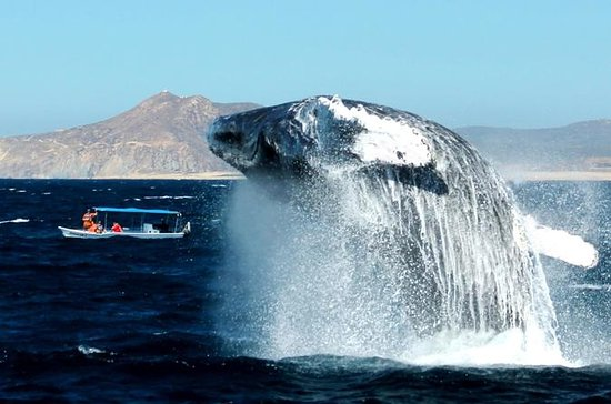 Cabo Whale-Watching Tour with Lunch