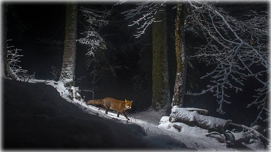 Cantón del Jura, Suiza: A red fox on the Swiss side of the Jura Mountain range