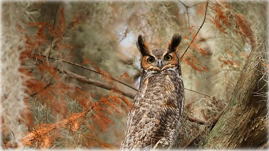 Sentral-Florida, FL: Great horned owl near Lake Tohopekaliga, south of St. Cloud, Florida