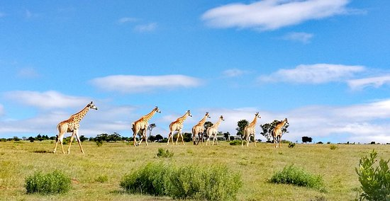 Paterson, South Africa: Our resident giraffe at Founder's Lodge