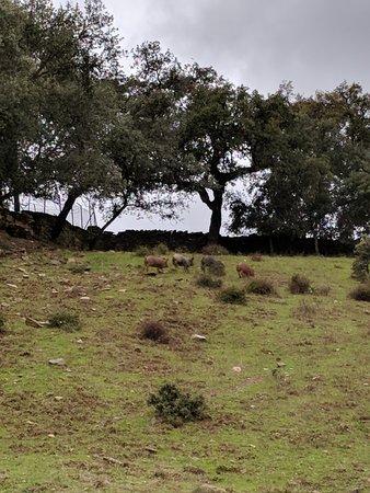 Corteconcepcion, Espanha: Young pigs roaming on the farm.