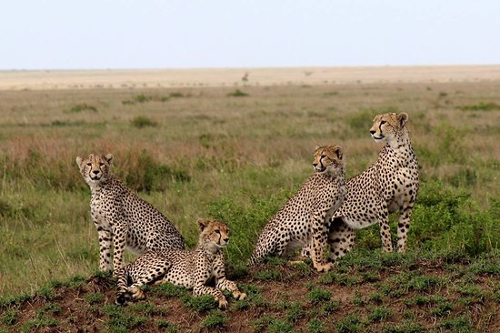 Seronera: a place you can see diffence style of cheetah