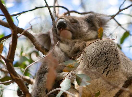 Hanson Bay Wildlife Sanctuary: Koala sleeping in a tree