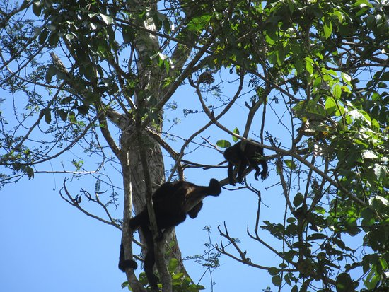 Cano Negro, Costa Rica: monkeys