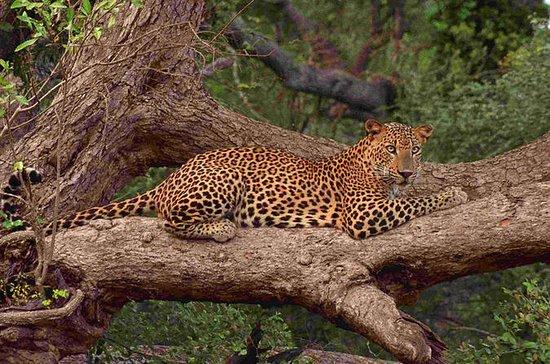 Safari privé de léopards d'une...