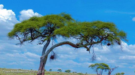 Bright African Safaris: Leopard in an Acacia tree - Tarangire National Park, 27.2.2018
