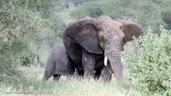 Bright African Safaris: Elephant, Ndutu Plains, 1.3.2018