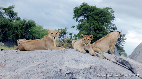 Bright African Safaris: Lions, Serengeti National Park, 4.3.2018